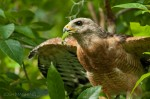 Josh Manring- the birds Everglades Exhibit-47