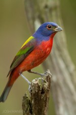 Josh Manring- the birds Everglades Exhibit-5